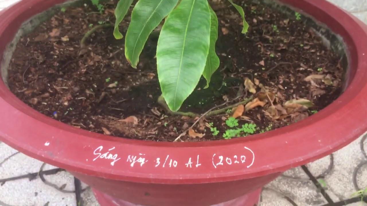 Xem cách sử lý cây mai cúc 150 cánh cho ra bông sau 15 ngày 0985268452