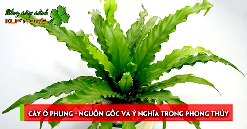 cay-o-phung-nguon-goc-va-y-nghia-trong-phong-thuy