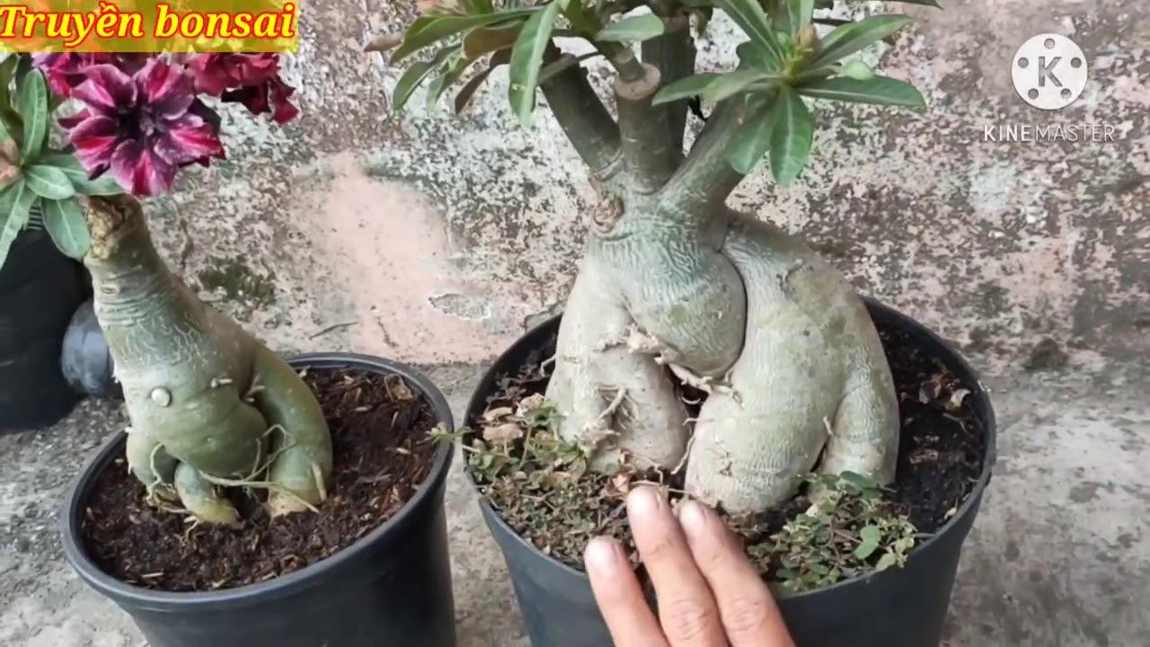 khắc phục cây sứ mới mua về hay bị vàng lá và chậm phát triển./truyền bonsai
