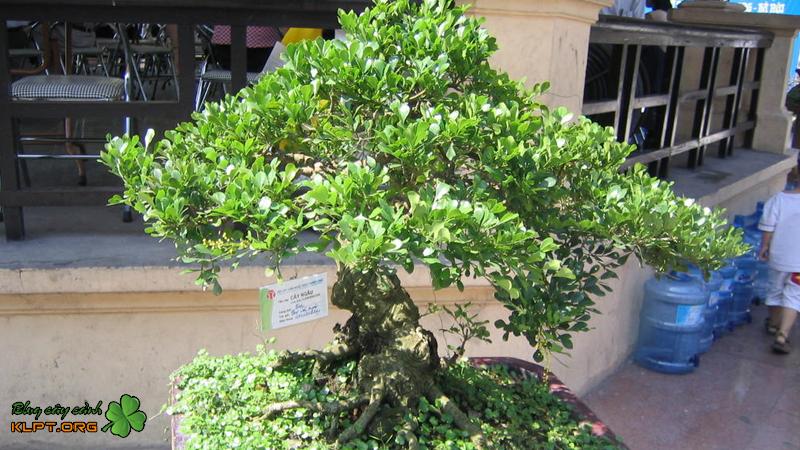 ky-thuat-uon-cay-ngau-bonsai-klpt