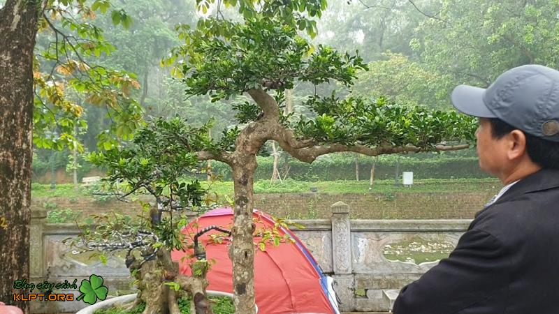 mot-so-dang-cay-ngau-bonsai-an-tuong-klpt-1