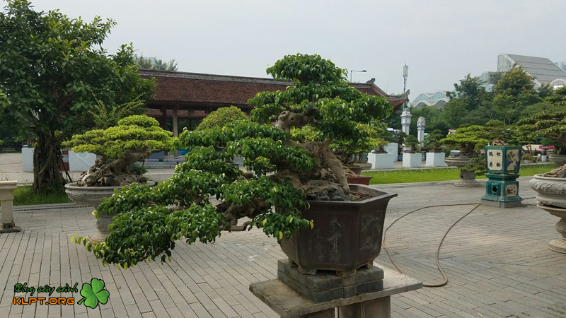 mot-so-dang-cay-ngau-bonsai-an-tuong-klpt-2