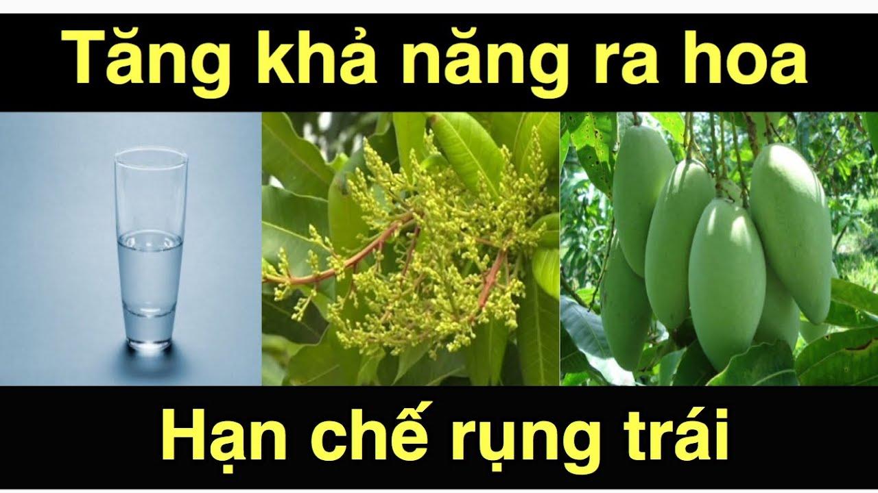 Mẹo bón phân cho cây xoài ra hoa đậu trái