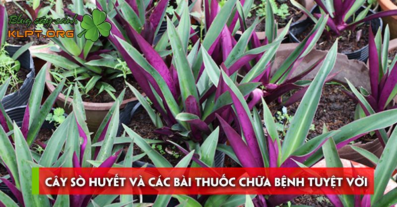 cay-so-huyet-va-cac-bai-thuoc-chua-benh-tuyet-voi