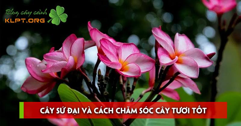 cay-su-dai-va-cach-cham-soc-cay-tuoi-tot-nhieu-hoa
