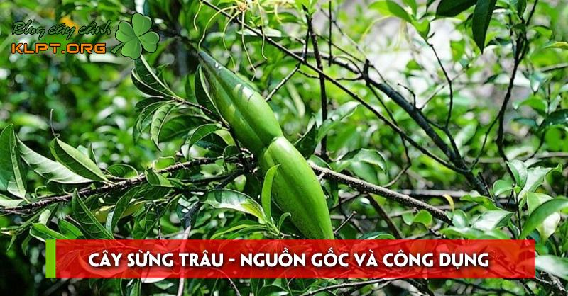 cay-sung-trau-nguon-goc-va-cong-dung-trong-doi-song