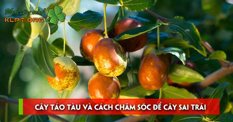 cay-tao-tau-va-cach-cham-soc-de-cay-sai-trai