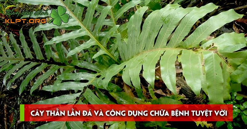cay-than-lan-da-va-cong-dung-chua-benh-tuyet-voi