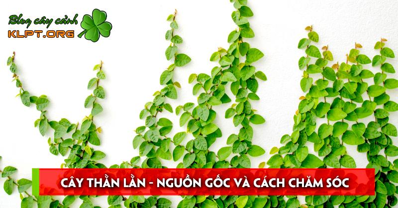 cay-than-lan-nguon-goc-va-cach-cham-soc