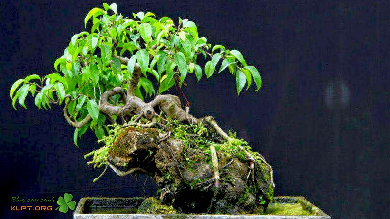 nhung-luu-y-khi-tao-dang-bonsai-klpt
