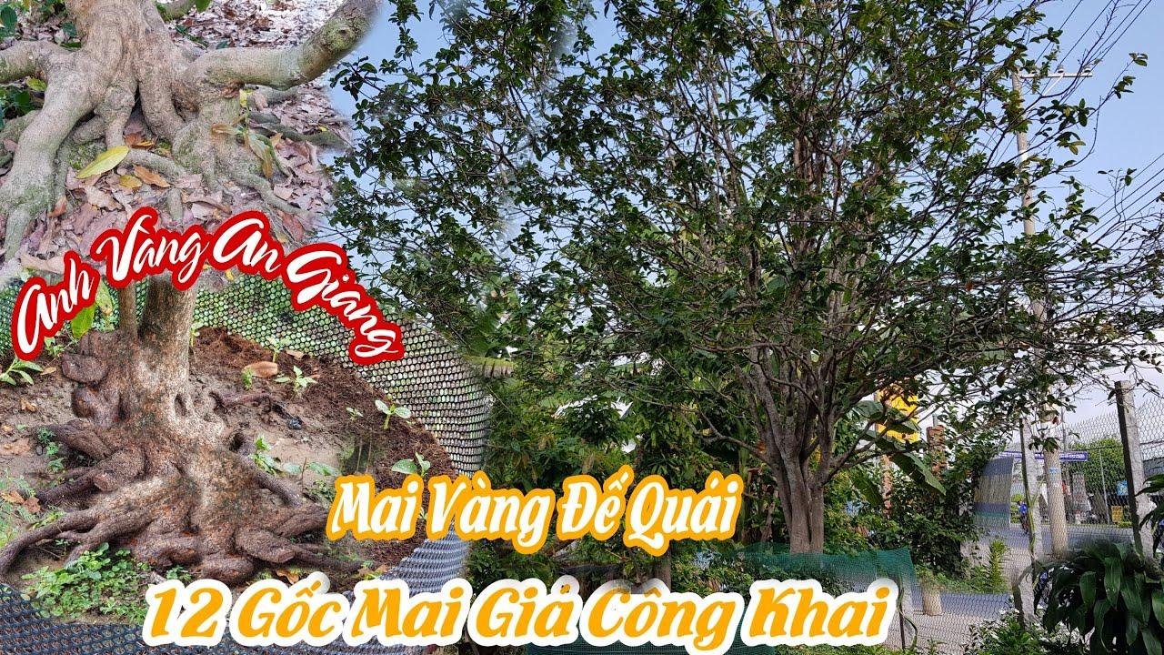 12 Gốc mai vàng đế đẹp tàng đều của anh VÀNG ở An Giang 0706456456