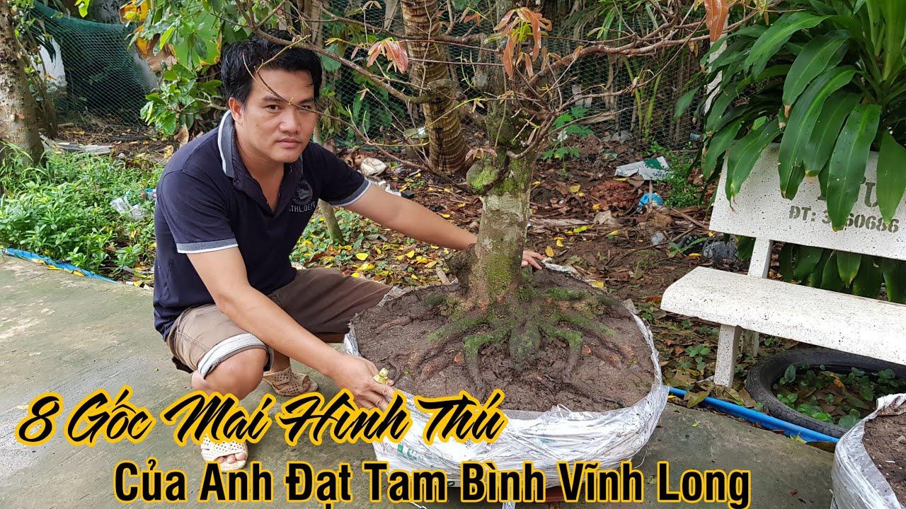 8 gốc mai giảo nguyên thủy đế đẹp của anh Đặt ở Tam Bình Vĩnh Long 0783709543