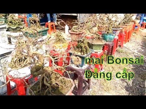 Ai thích Mai Bonsai Thì vào xem nào - Bonsai Binh Dinh