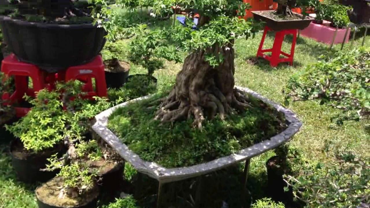 BONSAI BÌNH ĐỊNH  - cây sam, mai chiếu thủy đẹp quá trời