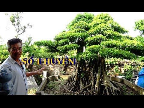 Bác ấy nói cây này nhất nhì huyện. 3 thân 1 ngọn, tam đại yêu cơ.