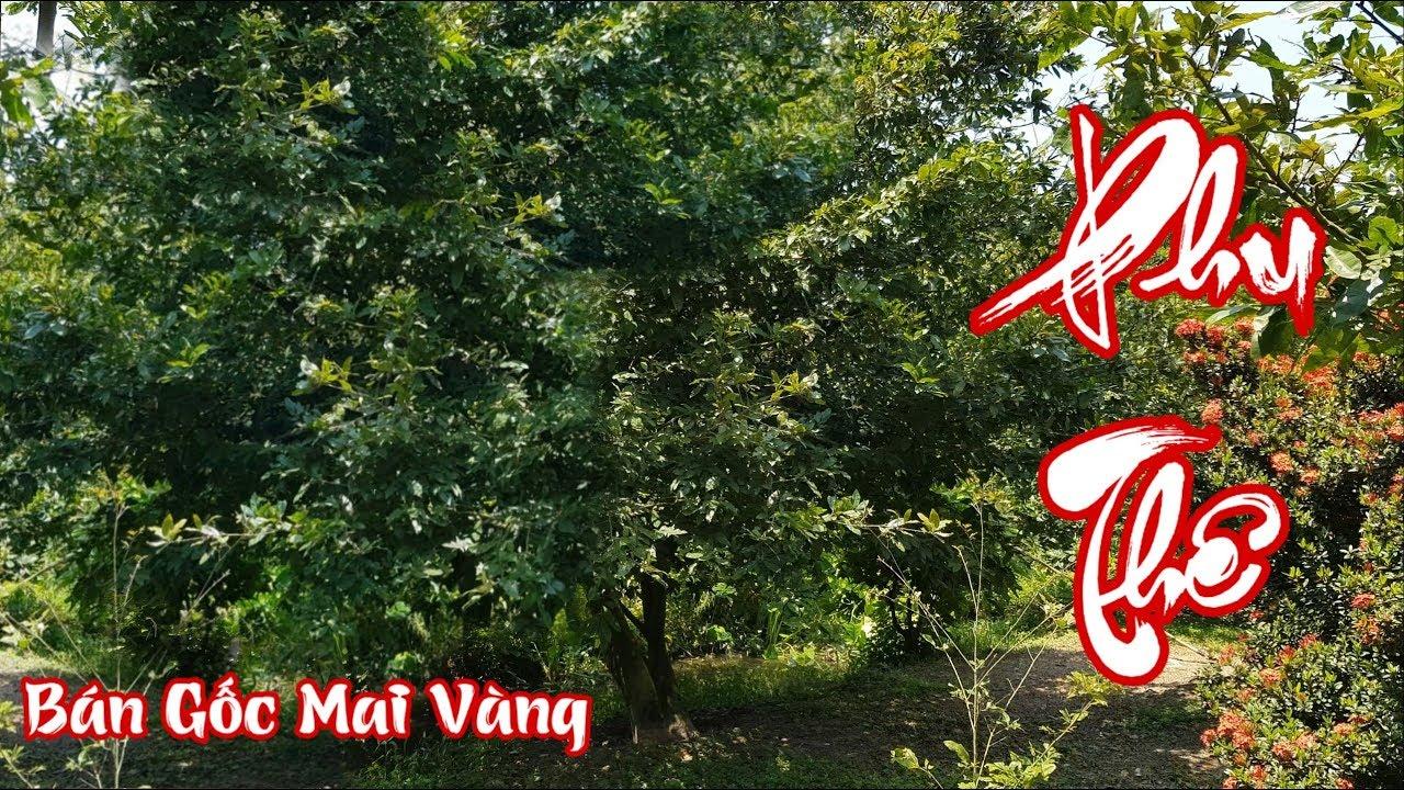 Bán gốc mai vàng có dáng phu thê ở Cái Bè Tiền Giang
