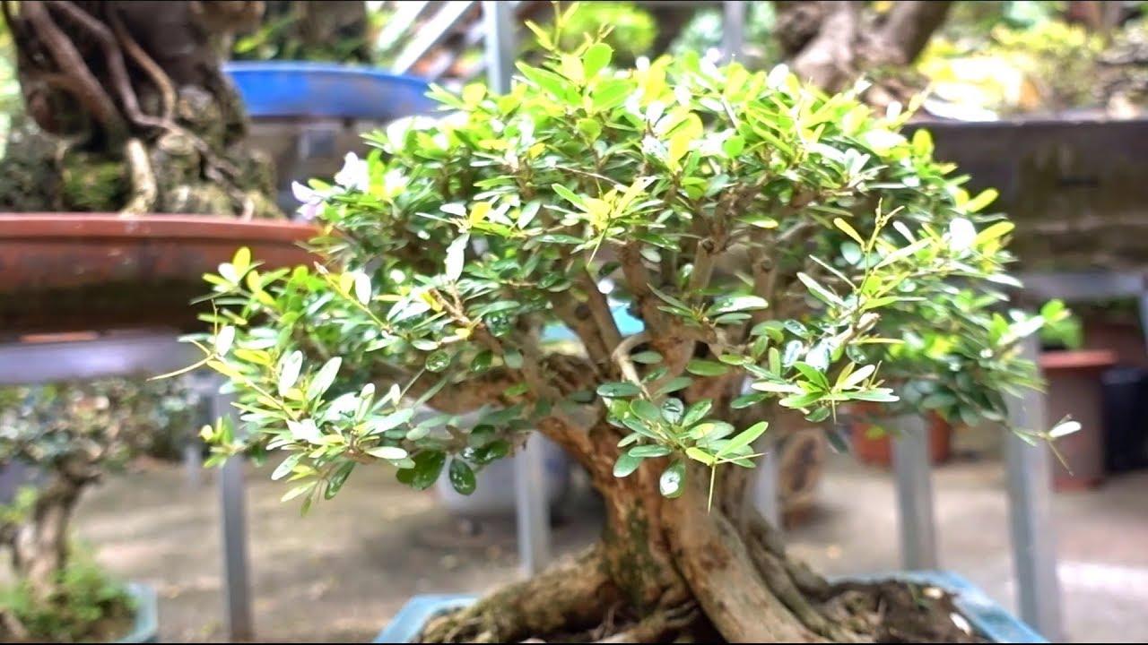 Báo giá hàng mới về đẹp lung linh, si, sanh, mai chiếu thủy, linh sam, trang, sam. Bonsai trees