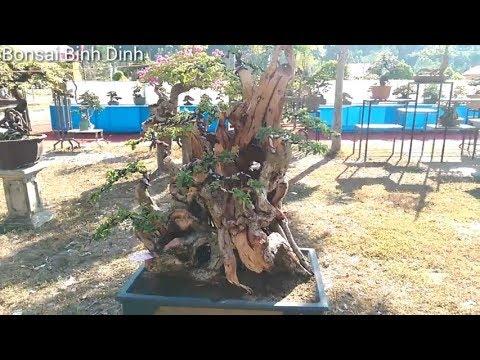 Beautiful bonsai tree, LŨA ZIN ĐẲNG CẤP - Bonsai Binh Dinh