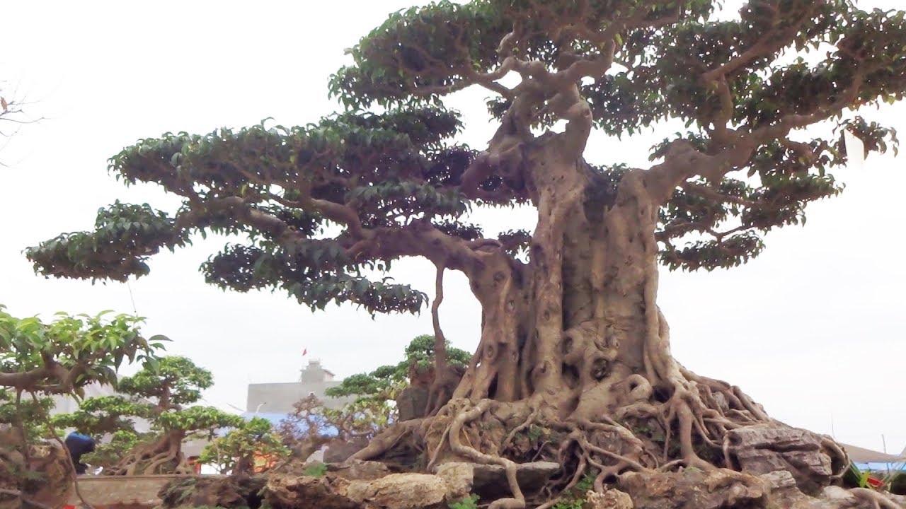 Bình luận siêu cây 7 tỷ của Dũng Trinh Việt Trì, dàn cây nhiều tỷ của công ty Đa Liên - super bonsai