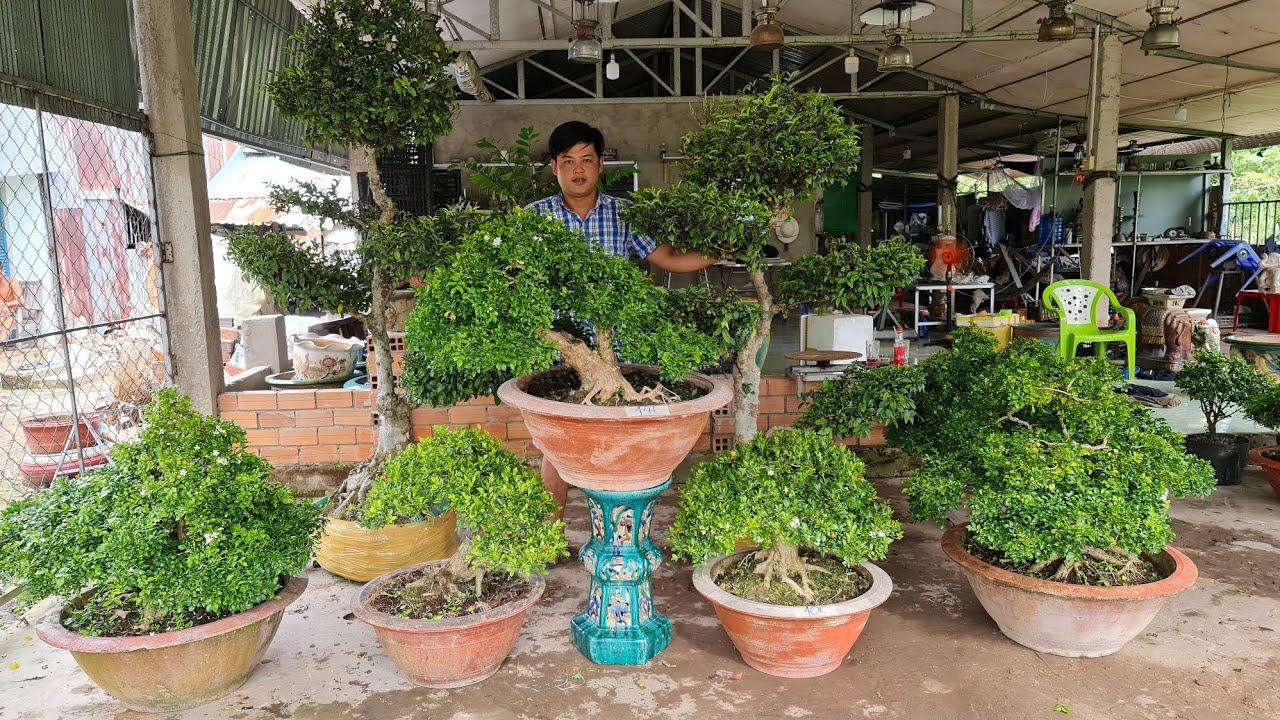 Bonsai TP Nguyệt Quế, Sam, Trang, Chiếu Thủy 09/11 🔔 O898 997764 Th Triệu