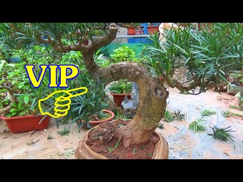 Bonsai, Tùng La Hán, sanh, vừng, vạn tuế, ngày 2/12 ,ĐT: 0337496058