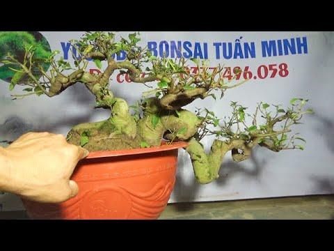 Bonsai VIP : Sung, Sanh, Vọng cách, ngày 6/3, ĐT: 0337496058