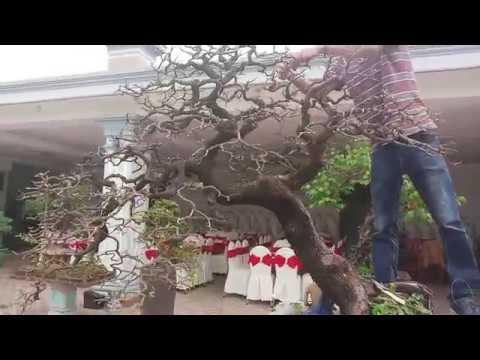 Bonsai viet va bonsai japan khac nhau o diem nao?me bonsai 2