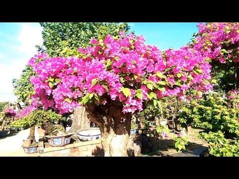 Bougainvillea Bonsai the most beautiful world, Bông Giấy  Tuyển Chọn - Bonsai Binh Dinh