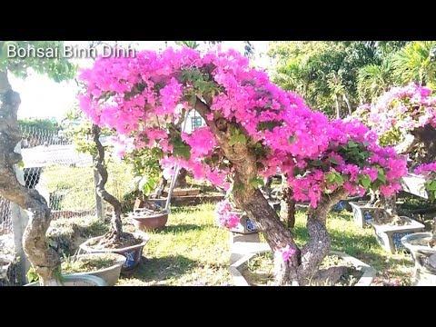 Bouganvillea very beautifull, SIÊU HOA GIẤY - Bonsai Binh Dinh