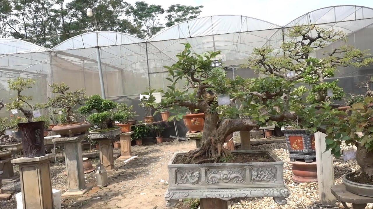 Cây 100 triệu chỉ bán với giá hơn 10 triệu, vườn cây cảnh - bonsai tree garden