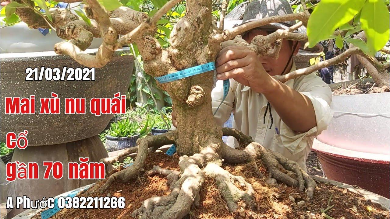 Cây Mai xù nu , kiểng cổ giá hữu nghị gặp A Phước 0382211266 huyện An Phú AG