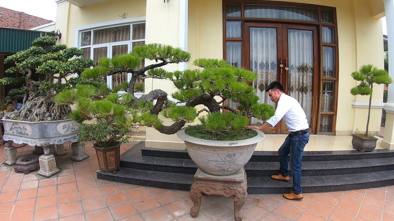 ✅Cây Thông Việt cực đẹp nhà anh Thảo ở Chí Linh-Hải Dương✔️BShp