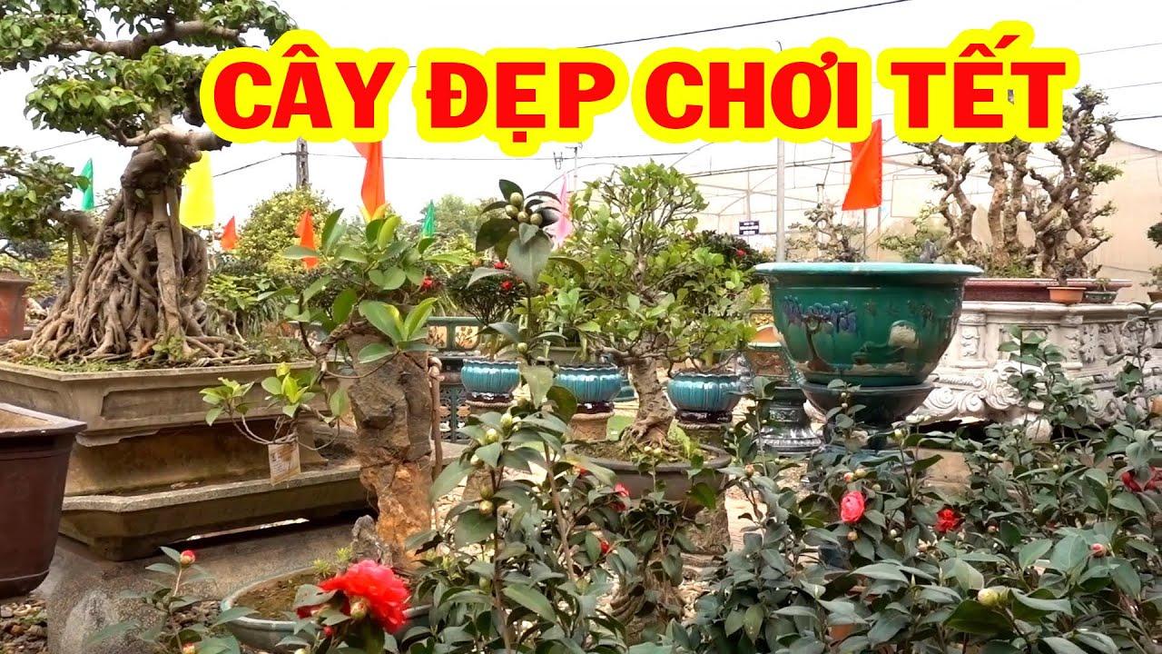 Cây đẹp chơi tết giá bình dân, hoa trà, nguyệt quế, cần thăng - bonsai trees is cheap