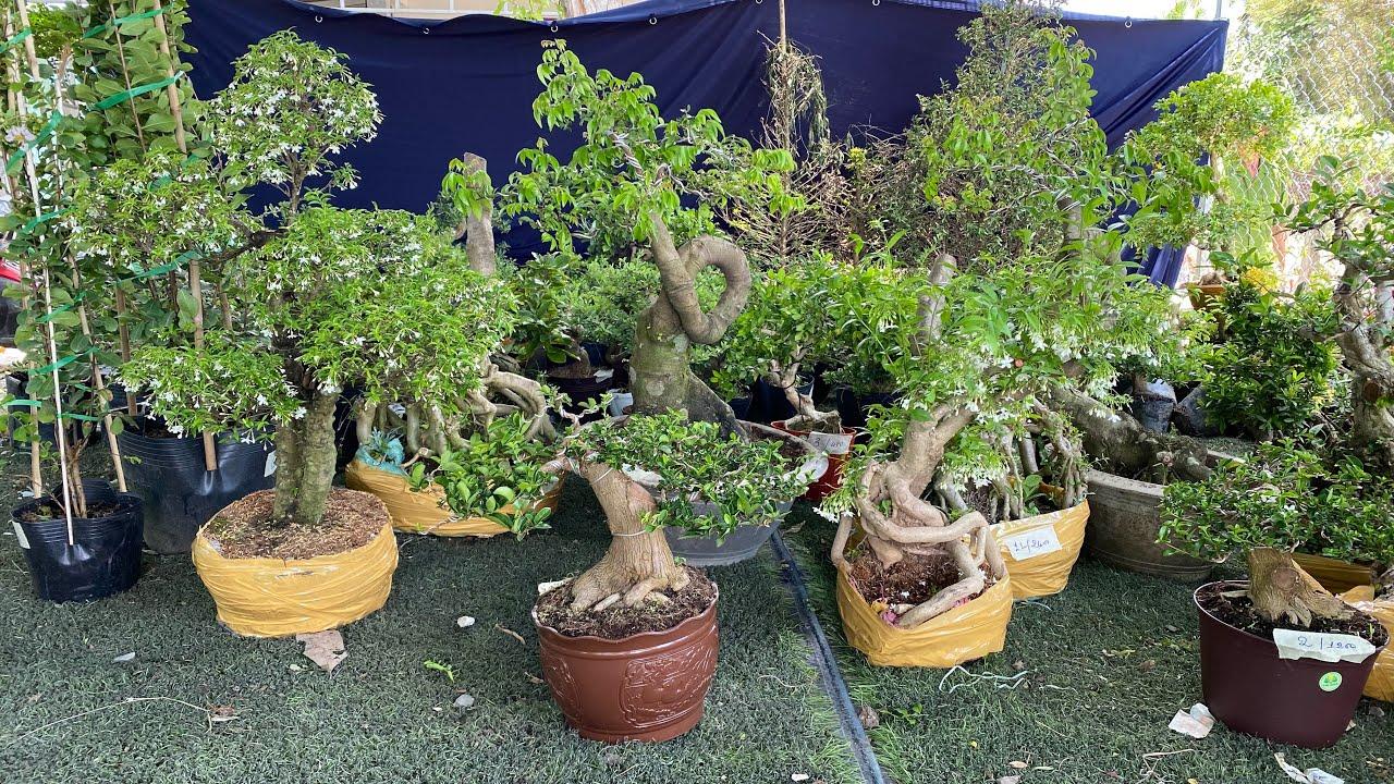 Cây kiểng Bonsai giá mềm nhiều loại chào bán 12/4 shop Thanh Bình