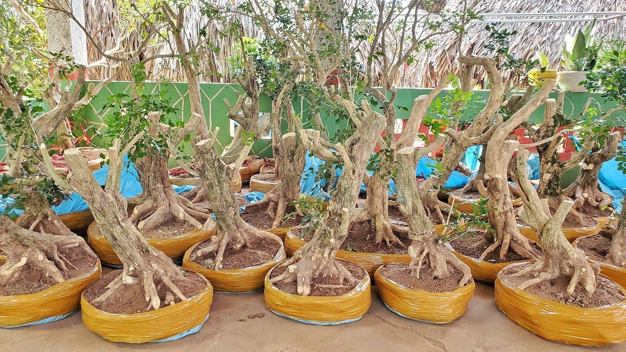 Chào bán 27 cây Nguyệt Quế zá hữu nghị mới về 8-3 | Hoàng Khang