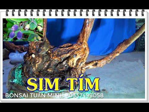 Dáng cây độc đáo, kỳ mĩ, HÌNH RÙA CÕNG CON. ĐT: 0337496058