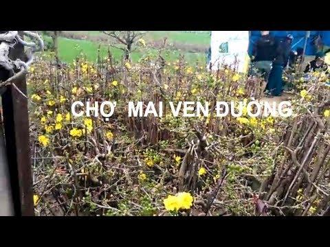 Dạo coi mai - Bonsai Bình Định