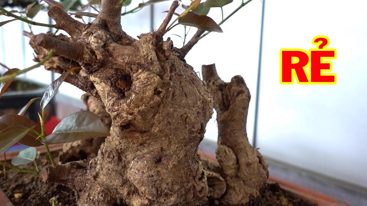 Đầu tư vào cây này tương lai mới thêm tiền - cheap bonsai trees