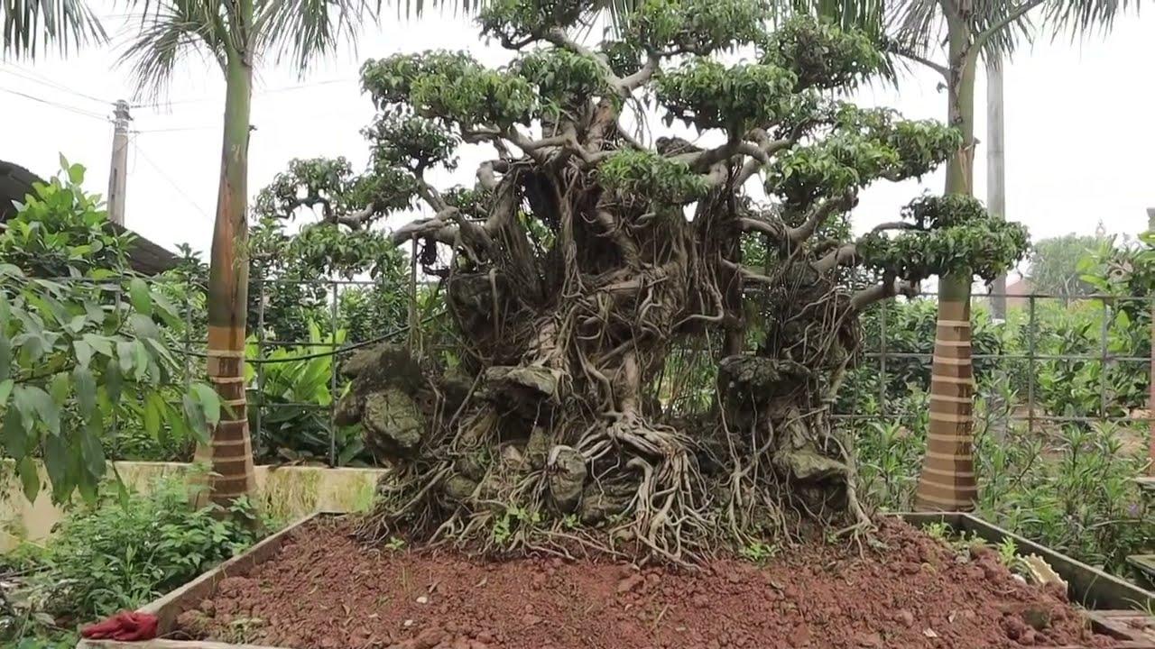 Địa chỉ Mua Cây cảnh Bonsai uy tín - Báo giá nhiều Sanh Nam Điền từ vài trăm đến vài chục triệu!