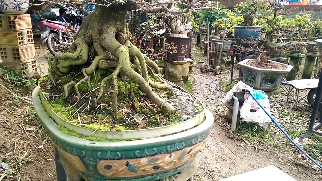 Đỉnh cao Mai Bình Định đây - Bonsai Binh Dinh