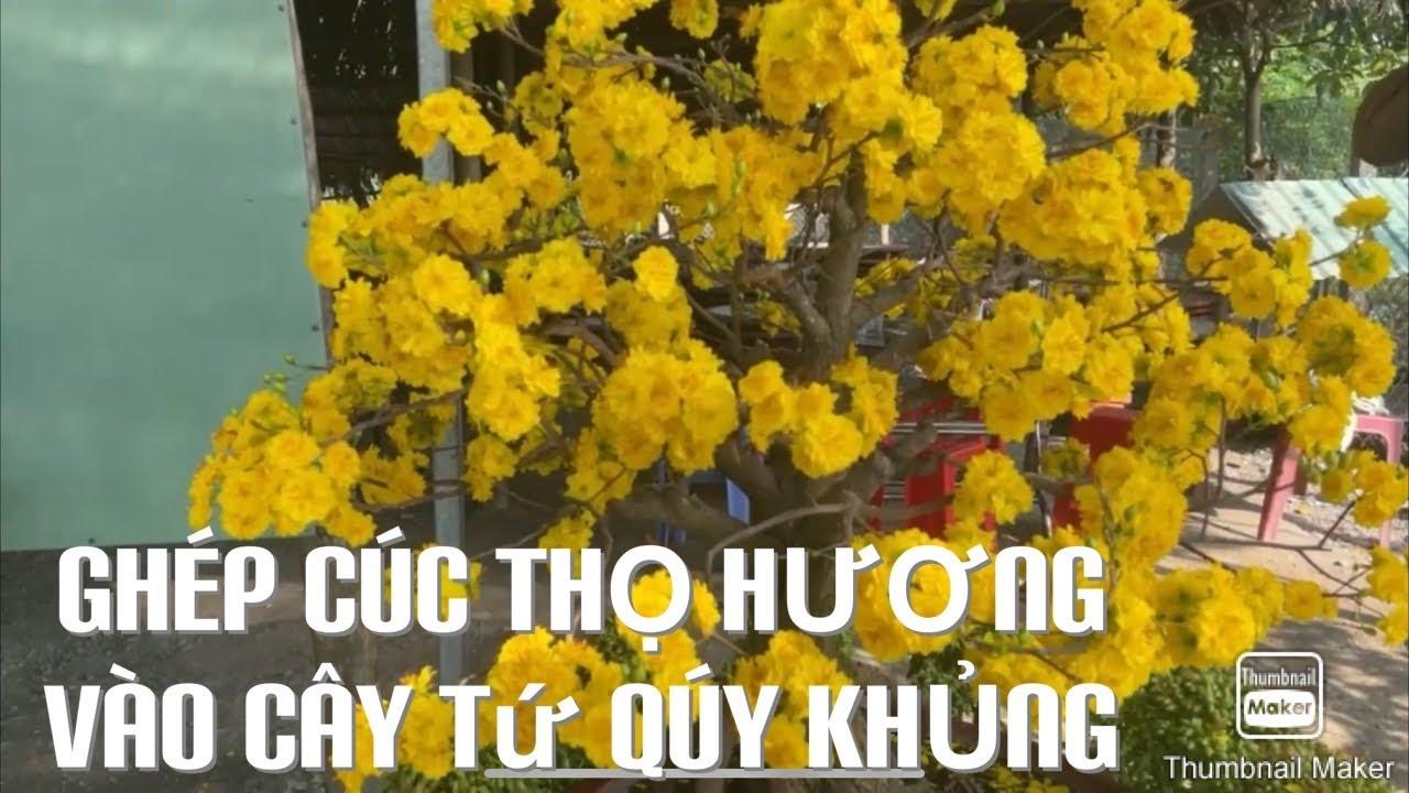 Ghép cúc thọ hương vào cây tứ qúy khủng ĐT 0901411168 mai-27-1-2021 âm lịch