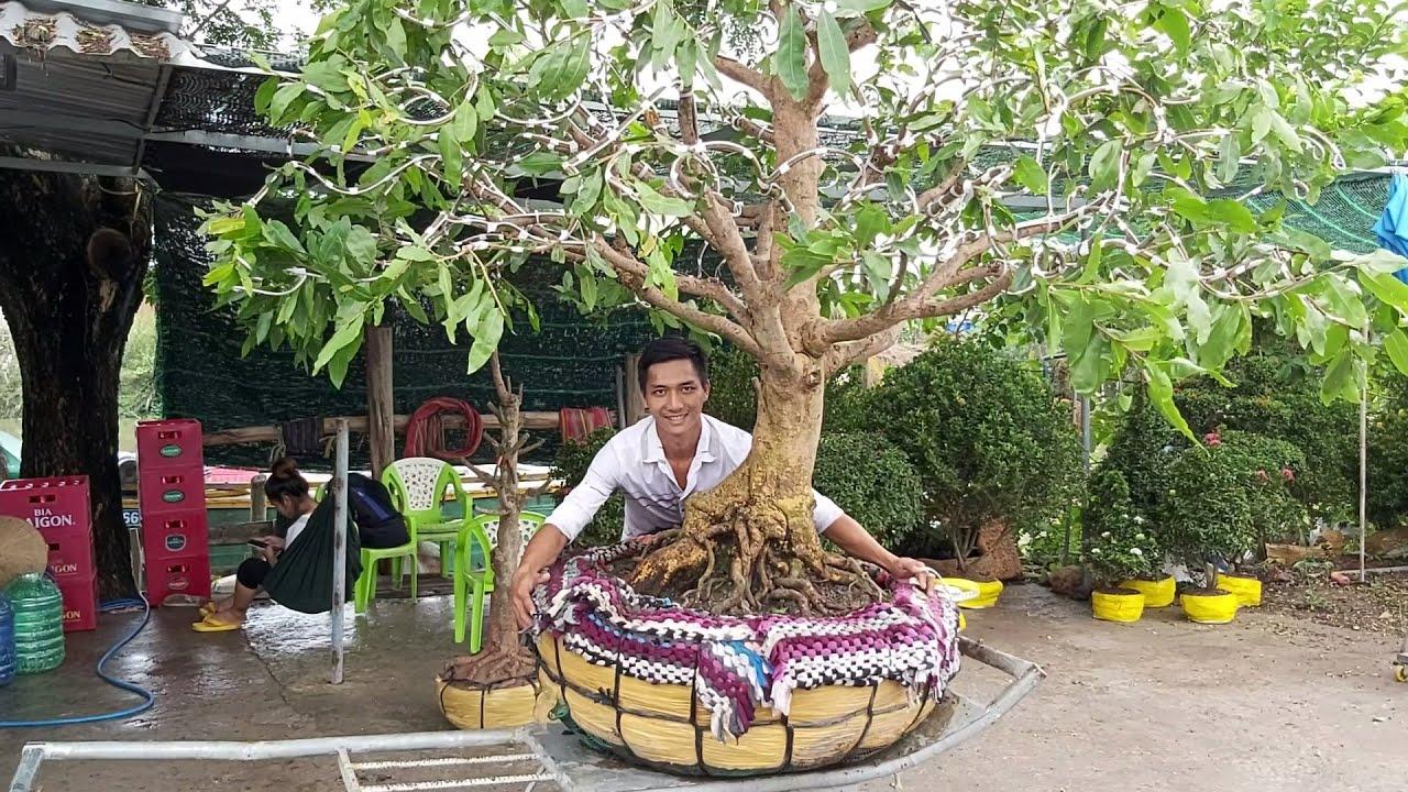Giao lưu 5 cây mai tàng quái , xù ,đế đẹp gặp A Tâm 0944156156 huyện Tháp Mười Đồng Tháp.25/5.