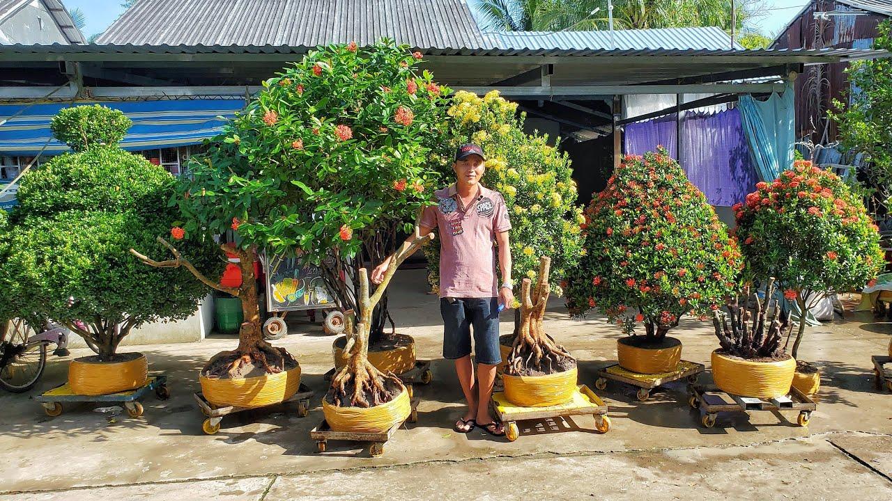 Giao lưu cây Ngâu, Mẫu Đơn, Mai vàng clip 24/11 🎄 O946718183 Kịch Ngã Năm