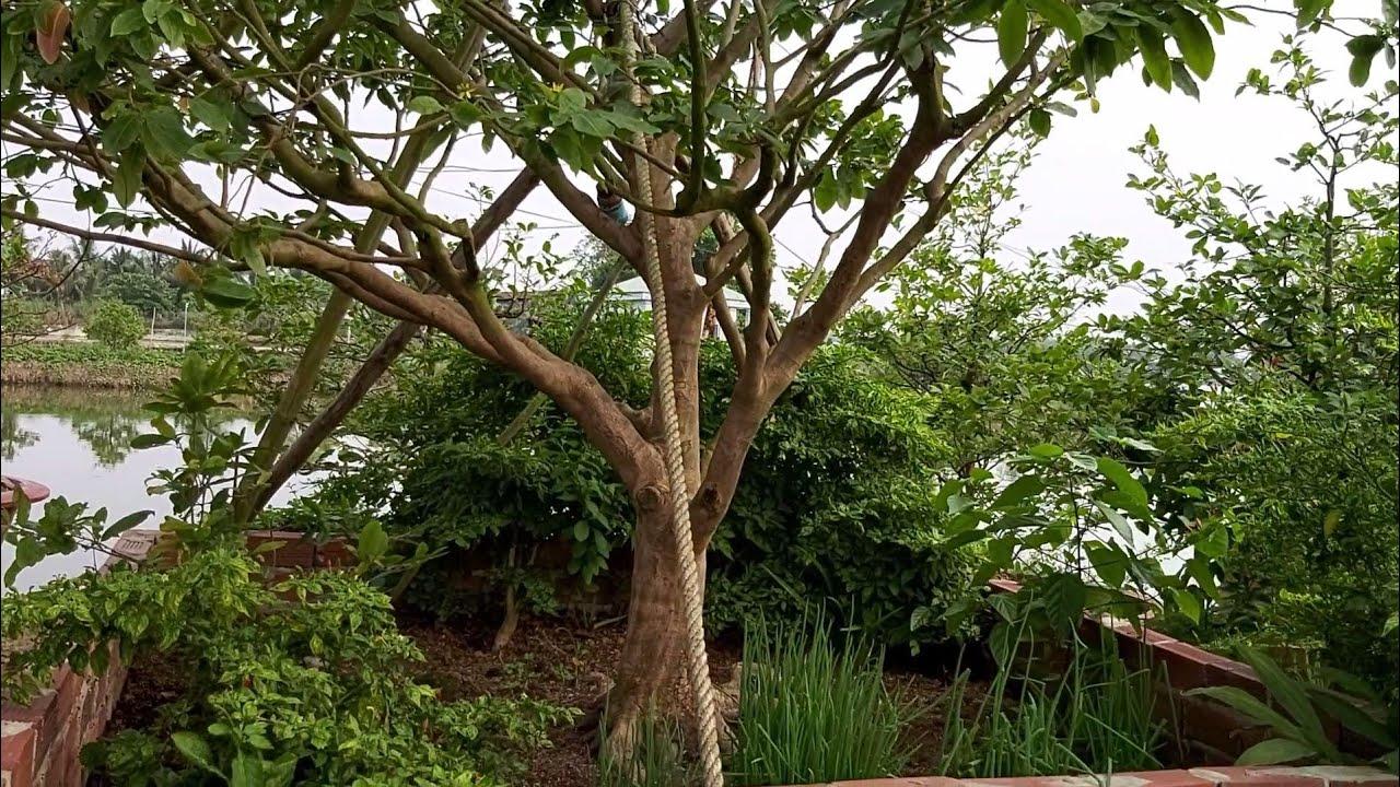 Giao lưu cây mai hoành 60cm và cả vườn mai của ông út 0888608064 cực đẹp.