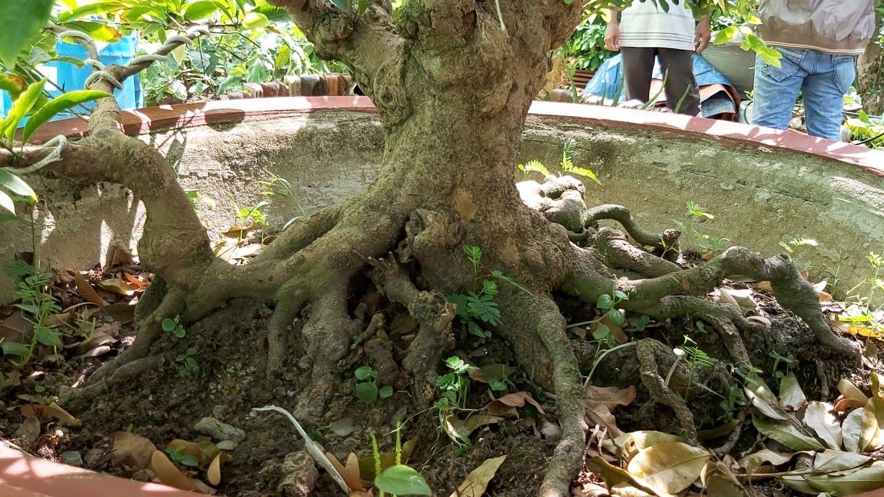 Giao lưu cây mai xù toàn thân giá 35tr và cây phôi 15tr của A Lộc Vĩnh Long 0766807913