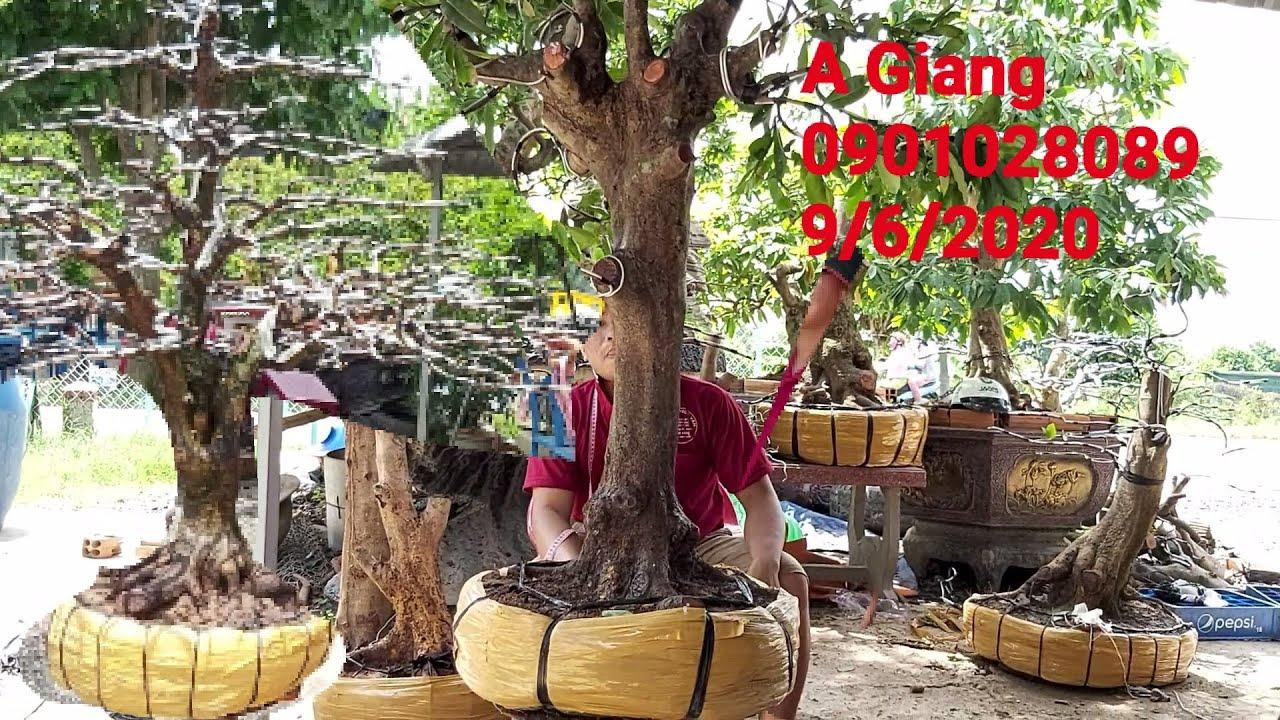 Giao lưu lô mai phôi và mai tàng đẹp gặp A Giang 0901028089 vựa kiểng Ngọc Vân Đồng Tháp.