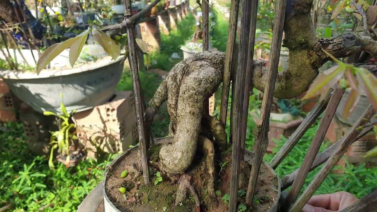 Gl mai bonsai chân dài cúc 4 long (đã bán)
