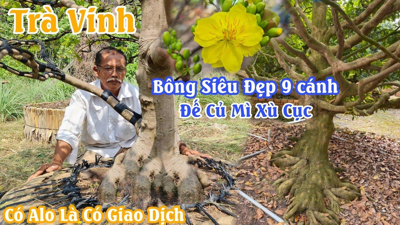 Gốc mai XÙ NU bông 9 cánh củ đế đặc sệt của chú Dự Trà Vinh 0888282567