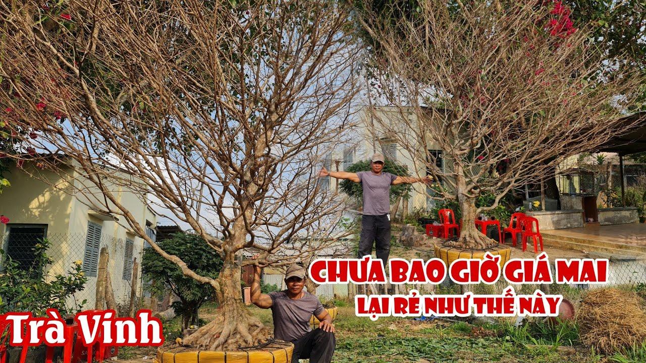 Gốc mai tàng HƠI BI KHỦNG bông chùm SIÊU THƠM ở Trà Vinh