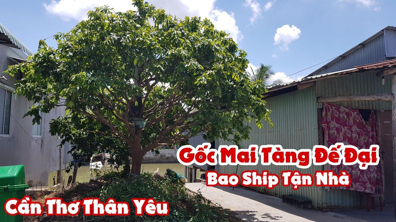 Gốc mai tàng đế đại của anh Tuân Cần Thơ bao ship tận nhà 0947088099